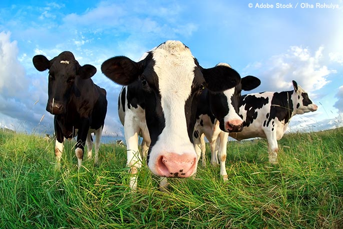 Striving For Zero Waste Cattle… Can It Be Done?
